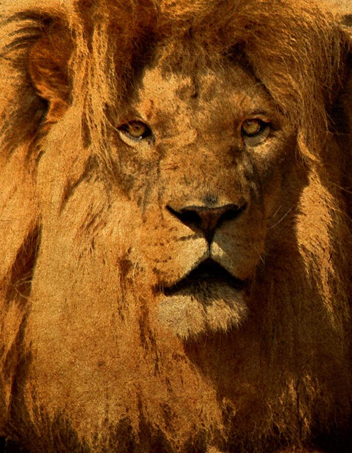 Lion Digital Art - Lion by Cindy Haggerty