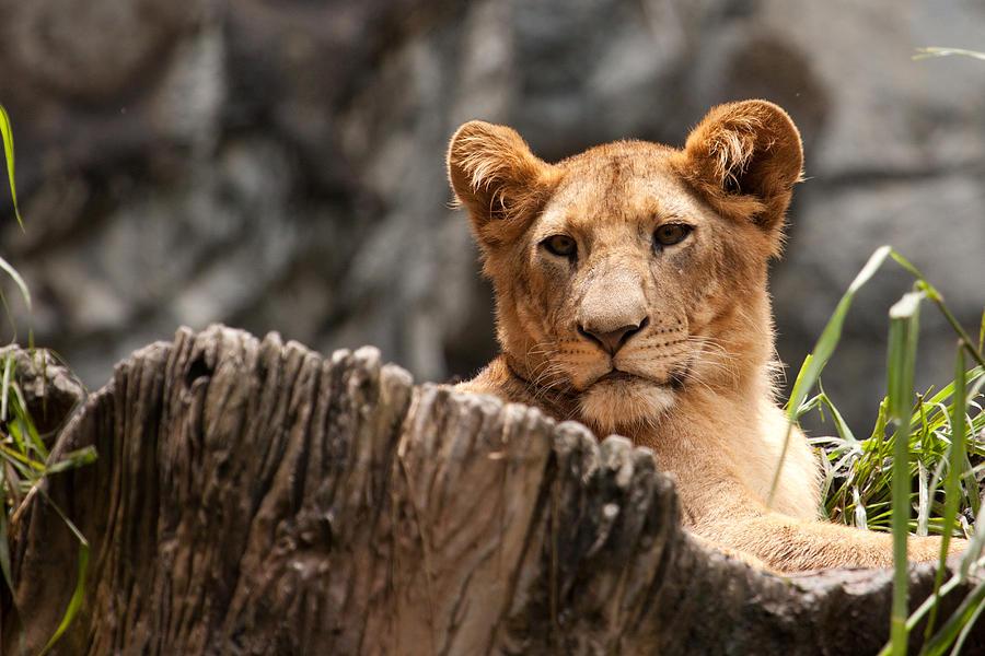 Lion Photograph - Lion Cub by Darren Strubhar