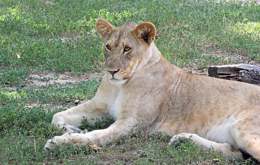 Becky Photograph - Lion Mama by Becky Lodes