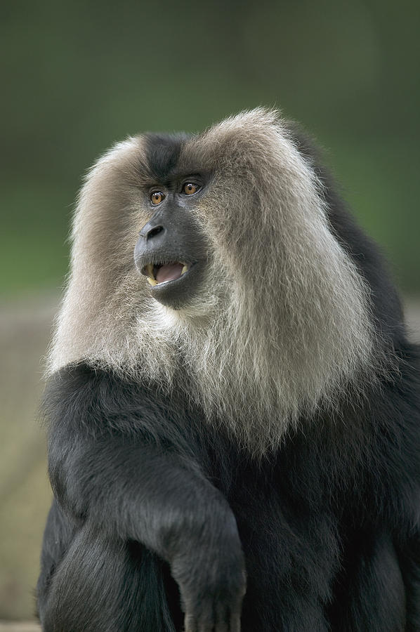 Lion-tailed Macaque Macaca Silenus Male Photograph by Cyril Ruoso