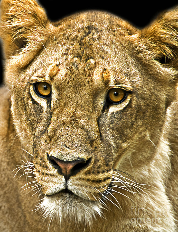 Lioness Photograph - Lioness by Charuhas Images