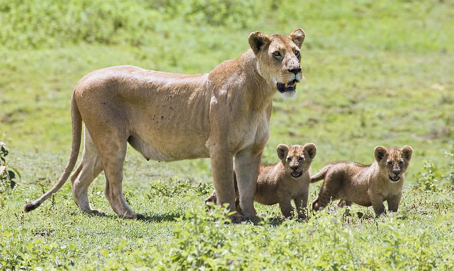 African Photograph - Lioness With Cubs by Carson Ganci