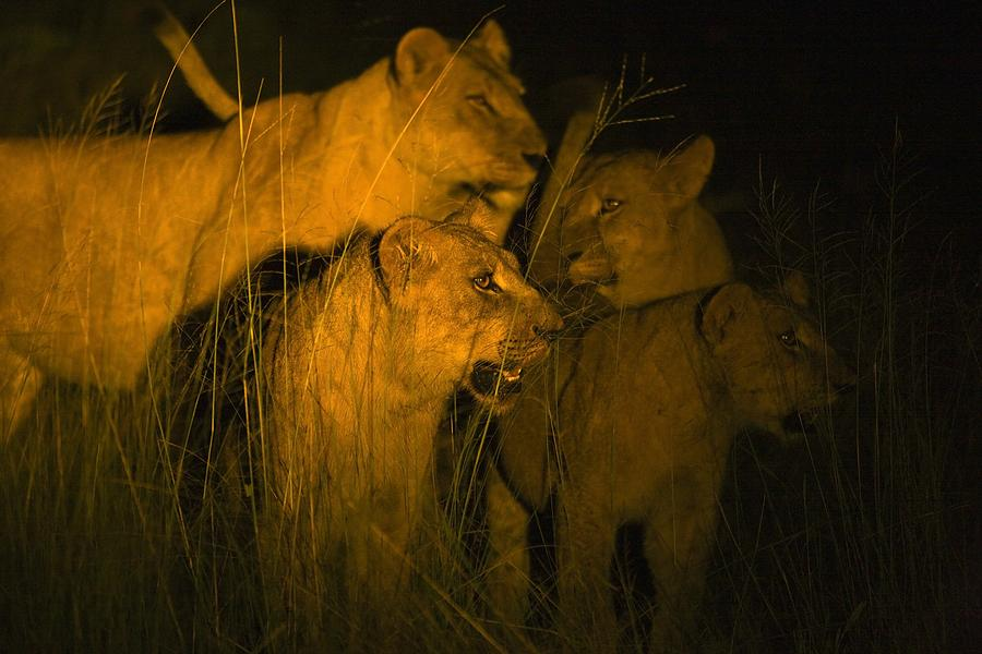 African Photograph - Lions At Night by Carson Ganci