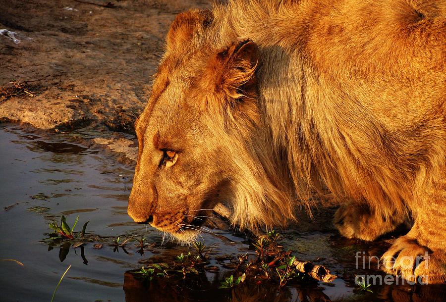 Africa Photograph - Lions Pride by Andrew Paranavitana