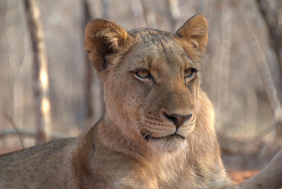 Lion Photograph - Lions Stare by Brandon Clay