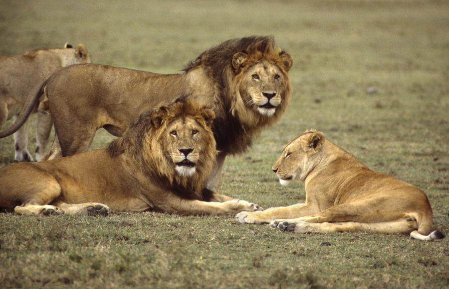 lions tanzania photograph by john wolf