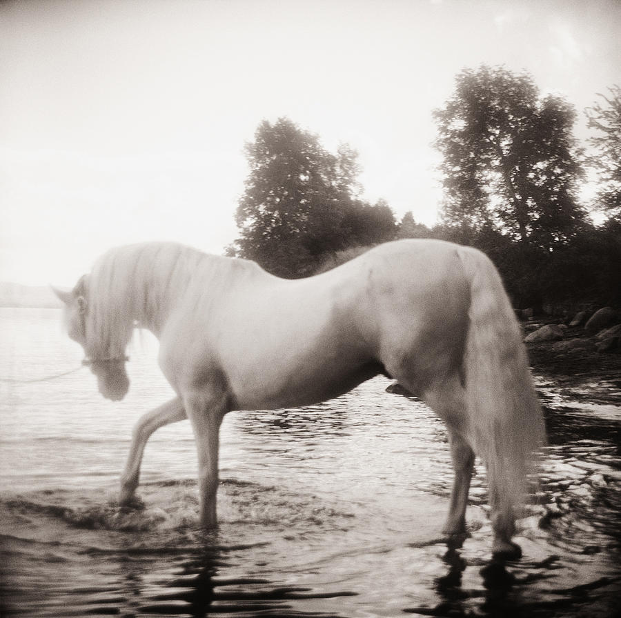 Horse Photograph - Lipizzan3 by Monica Stevenson