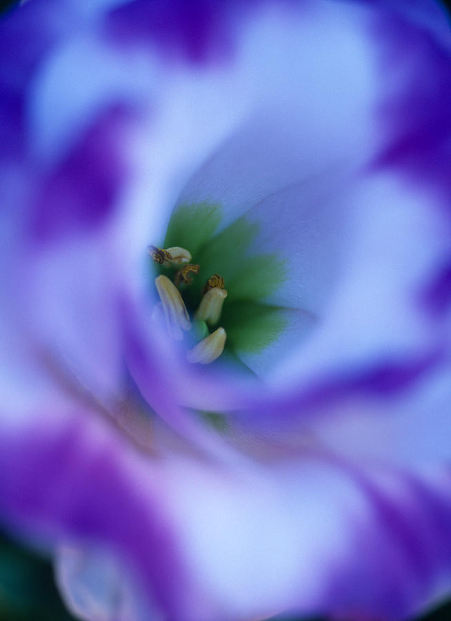 Flowers Photograph - Lisianthus by Kathy Yates