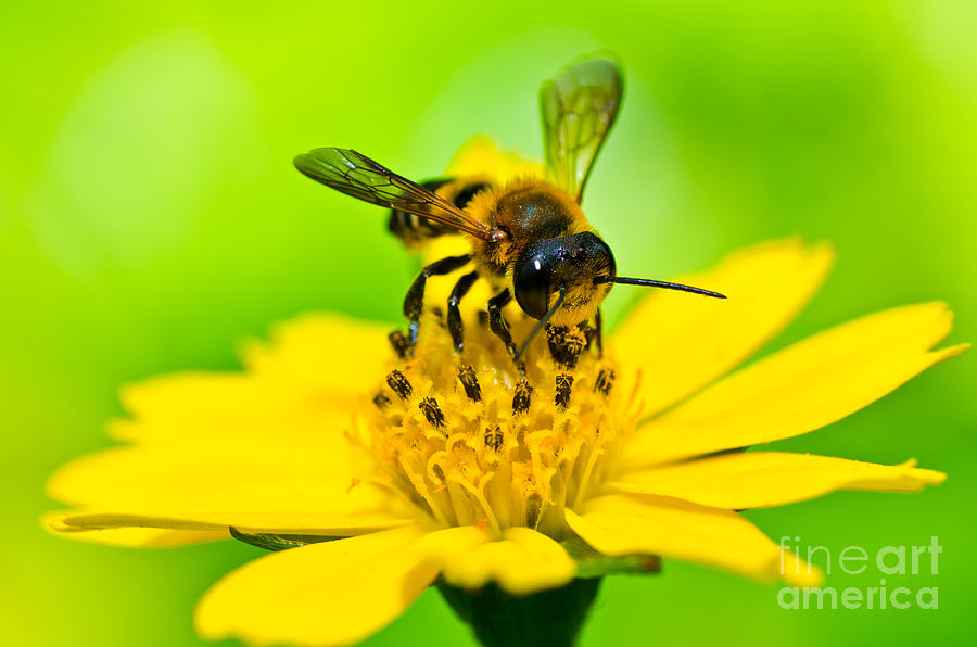 Animal Photograph - Little Bee In Yellow Flower by Peerasith Chaisanit