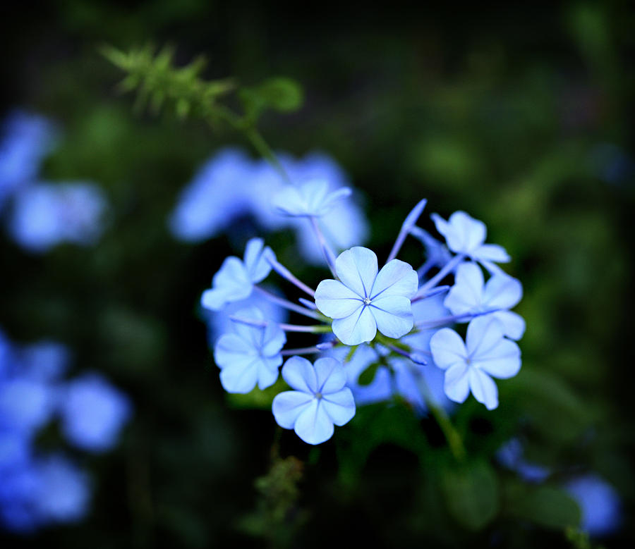 Little Blue Hawaiian Flower Photograph By Marilyn Hunt
