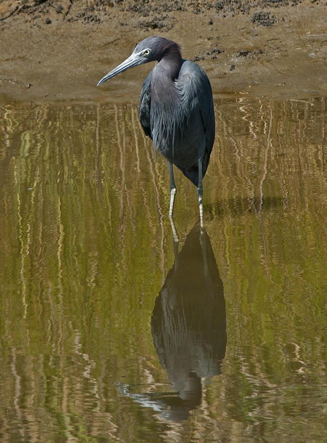 Little Blue Heron Photograph - Little Blue Heron Assateague Island by Lara Ellis