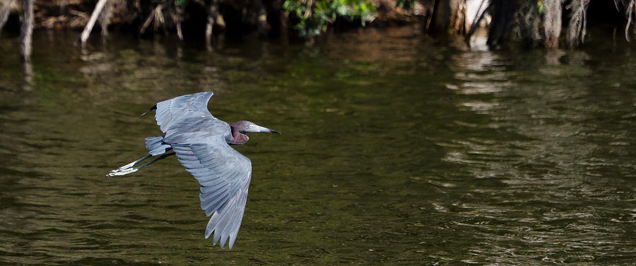 Heron Photograph - Little Blue Heron In Flight by Mike Rivera