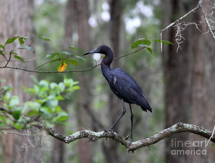 Heron Photograph - Little Blue Heron by Theresa Willingham
