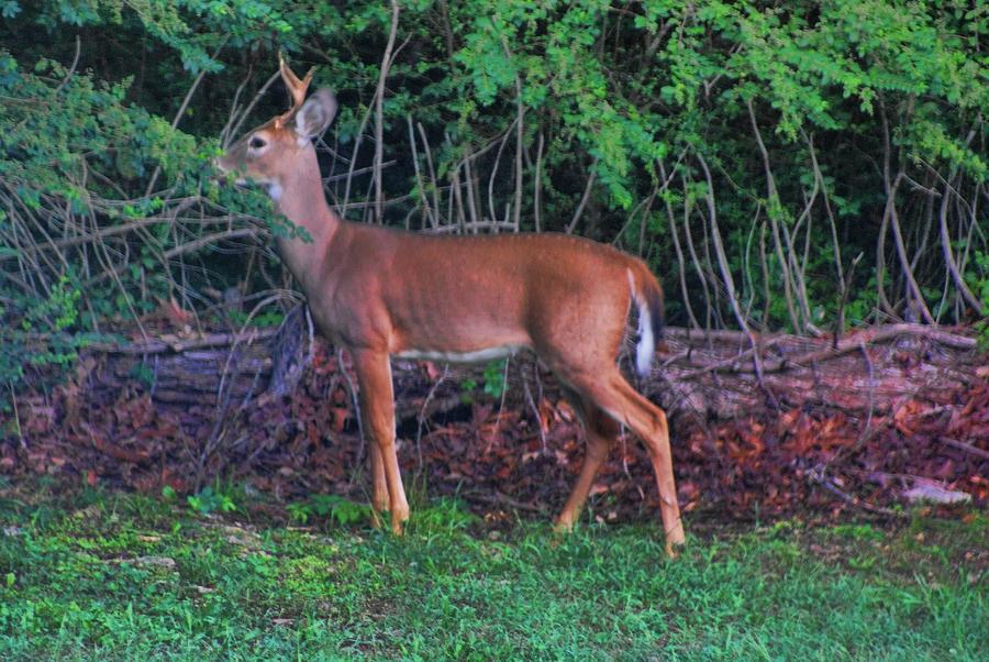 Deer Photograph - Little Buck by Rick Friedle