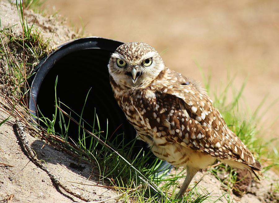 Owl Photograph - Little Burrowing Owl by Paulette Thomas