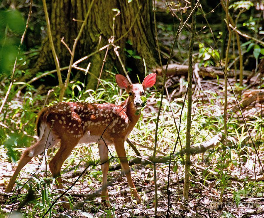 Animal Photograph - Little Deer by Bob Niederriter