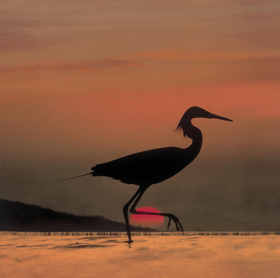 Little Egret Silhouetted At Sunset Photograph by Tim Fitzharris