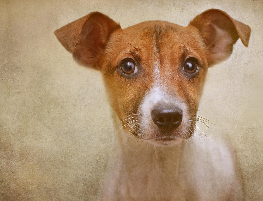 Dogs Photograph - Little Jack In Pastels by Pat Abbott