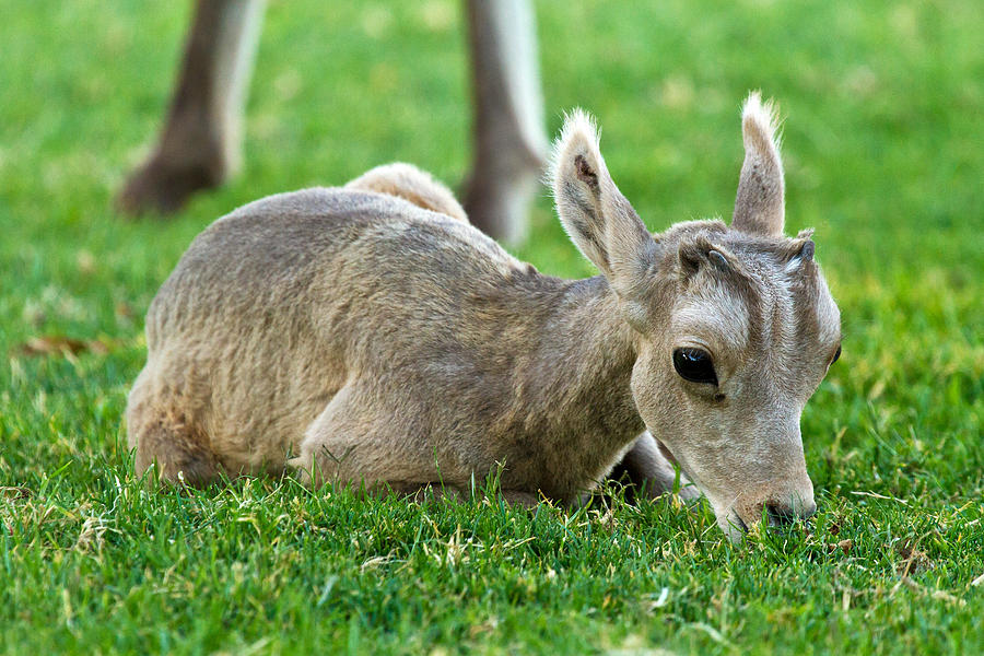Boulder City Photograph - Little Lamb by James Marvin Phelps