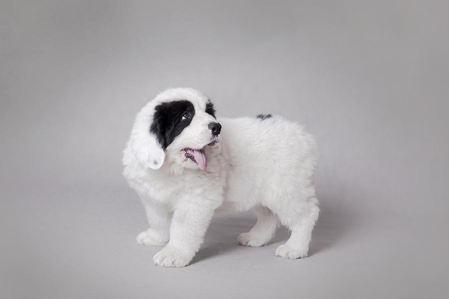 Landseer Photograph - Little Landseer Puppy Portrait by Waldek Dabrowski