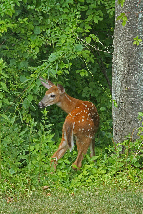 Deer Photograph - Little One by Karol Livote