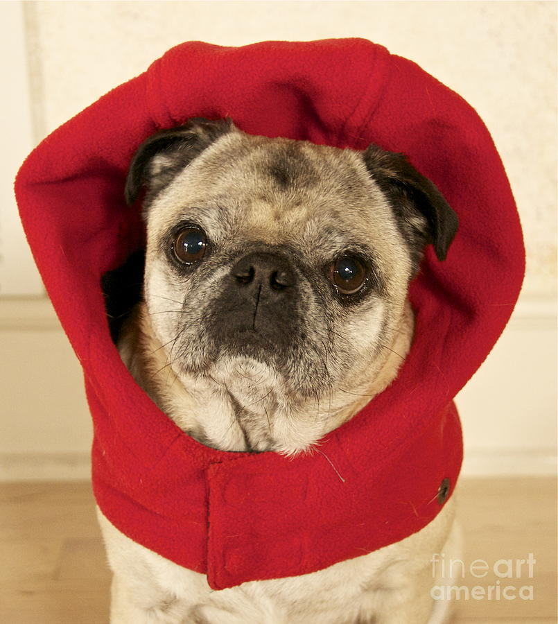 Pug Photograph - Little Red Riding Pug by Cindy Lee Longhini