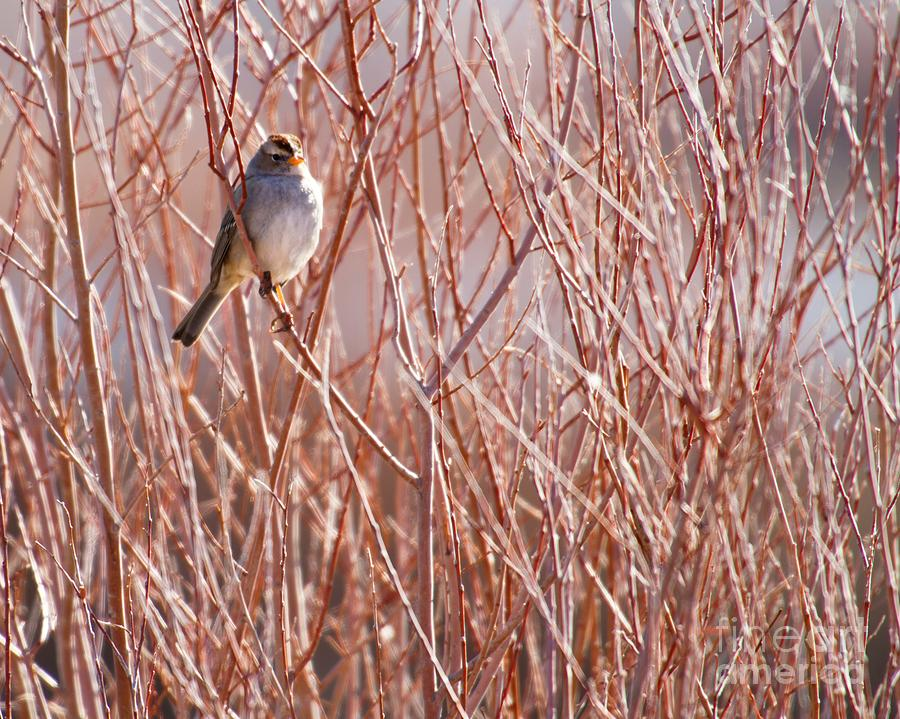 Bird Photograph - Little Sparrow by Sabrina L Ryan