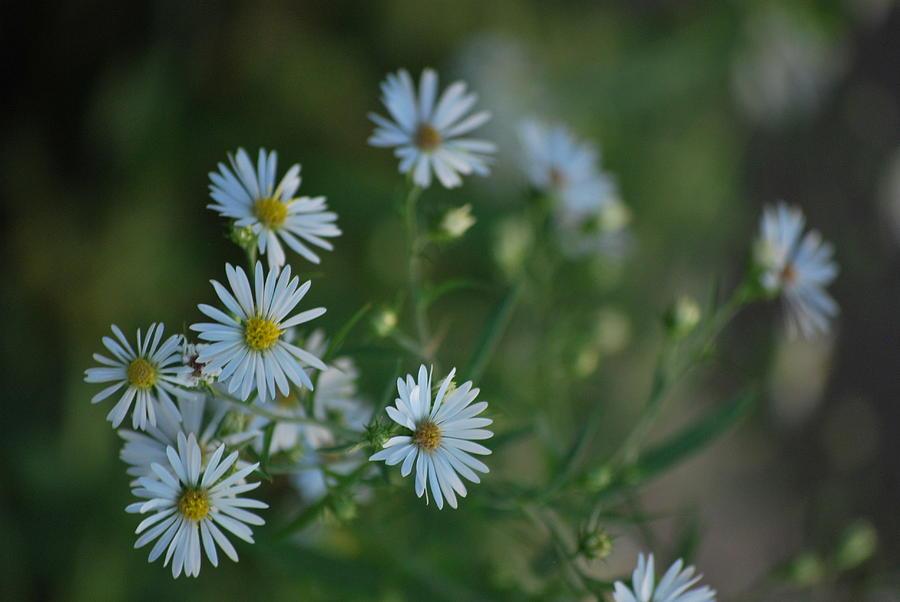 White Photograph - Little White Daisies by Michelle Cruz