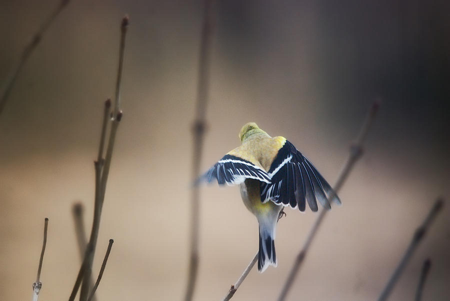 Birds Photograph - Little Wings by Susan Capuano