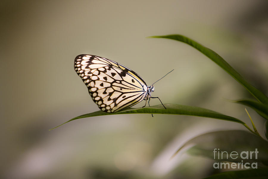 Butterfly Photograph - Little Zebra by Leslie Leda
