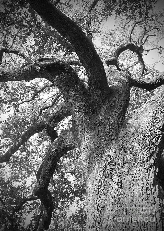 New Orleans Photograph - Live Oak by Waverley Manson