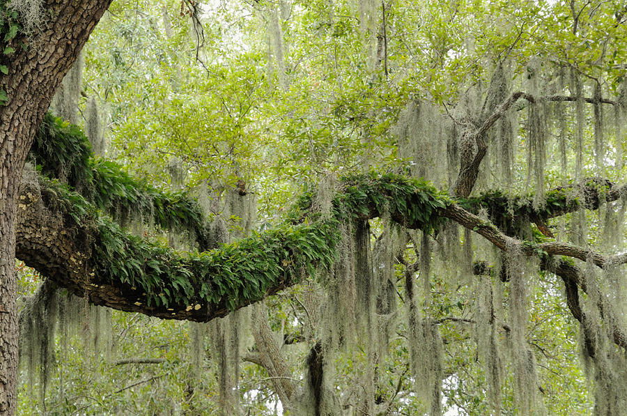 Live Oak With Ferns And Spanish Moss Photograph By