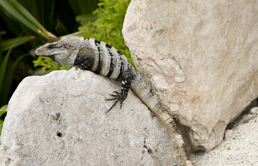 Iguana Photograph - Lizard by Blink Images