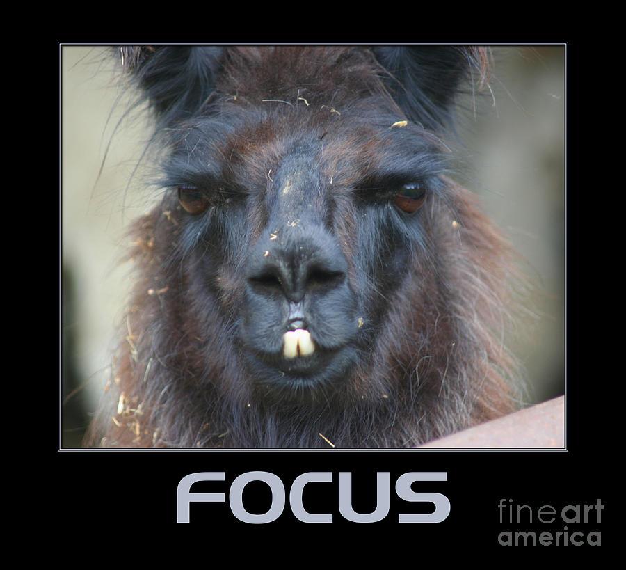 Llama Focus Photograph By Smilin Eyes Treasures