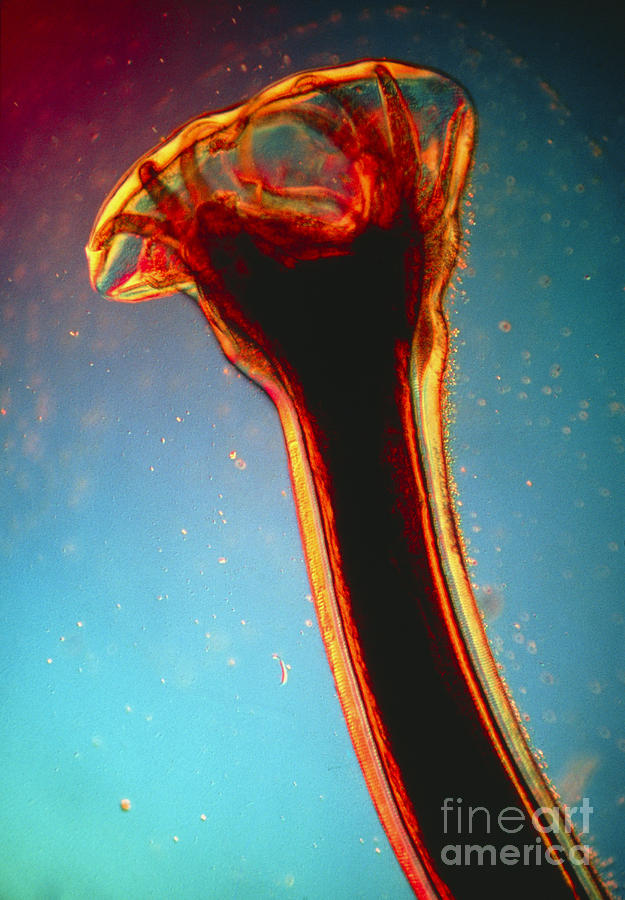 Hookworm Photograph - Lm Of Posterior End Of Hookworm by Eric Grave