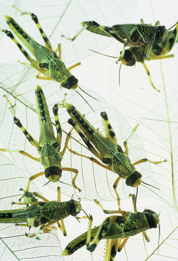 Locust Photograph - Locusts by David Aubrey
