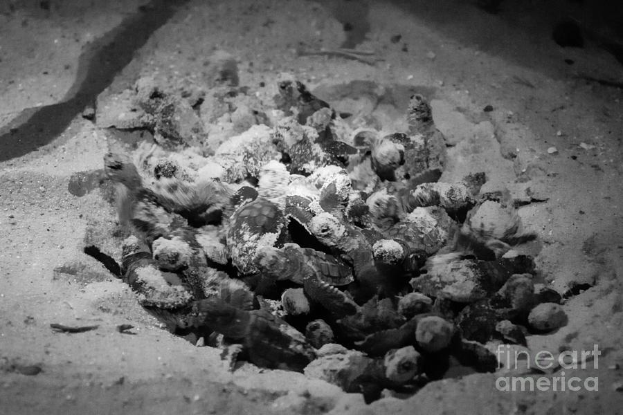 Loggerhead Sea Turtle Nest Hatching Photograph By Dawna