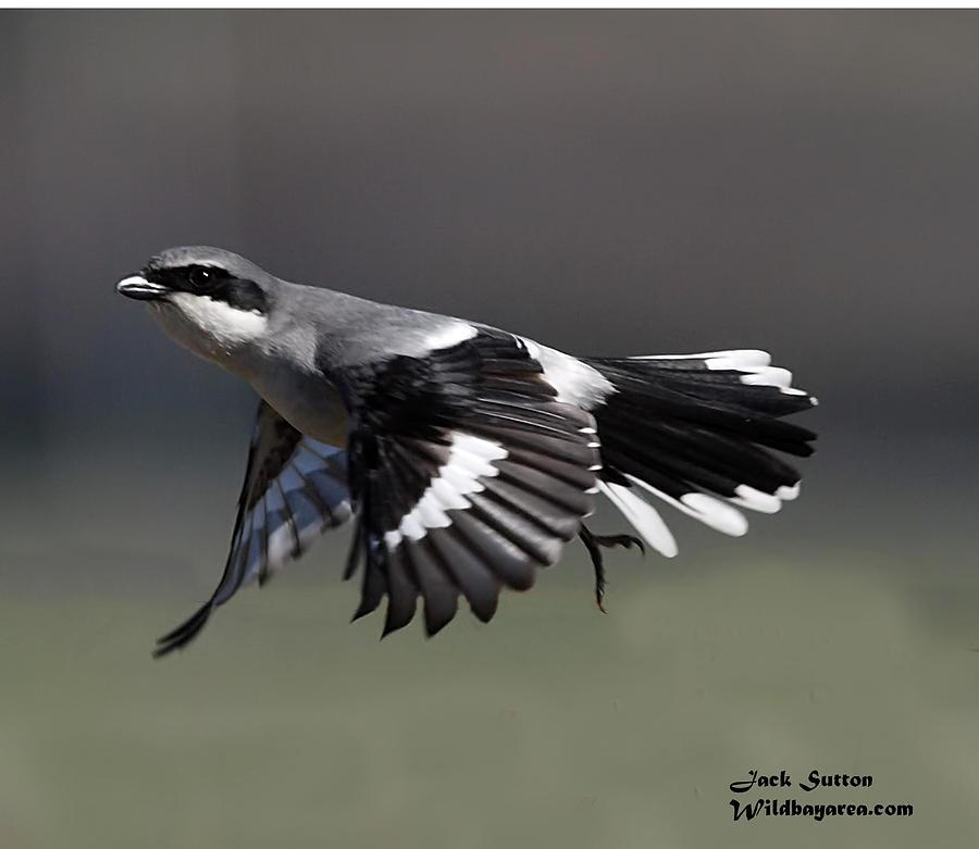 loggerhead shrike flight photograph by jack sutton