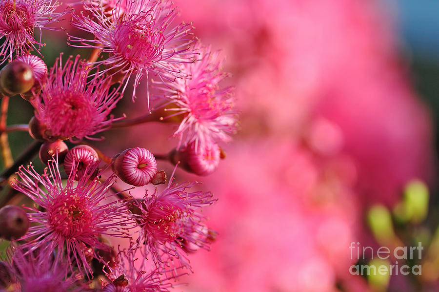 Lollypop Plant Photograph - Lollypop Gum Tree Blossoms by Kaye Menner