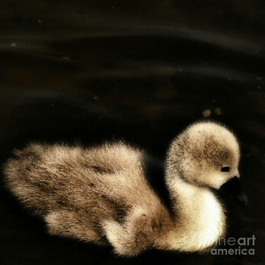 Cygnet Photograph - Lone Cygnet by Isabella F Abbie Shores FRSA