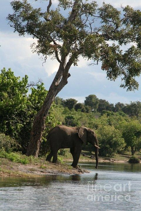 Elephant Photograph - Lone Elephant Water Hole by Carol Wright
