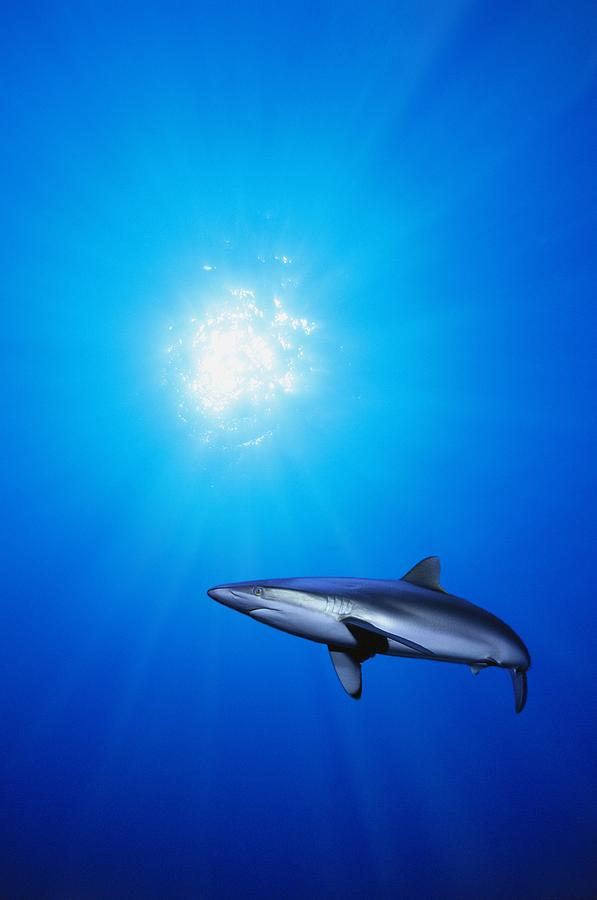 Animals Photograph - Lone Shark Illuminated By Underwater by Carson Ganci