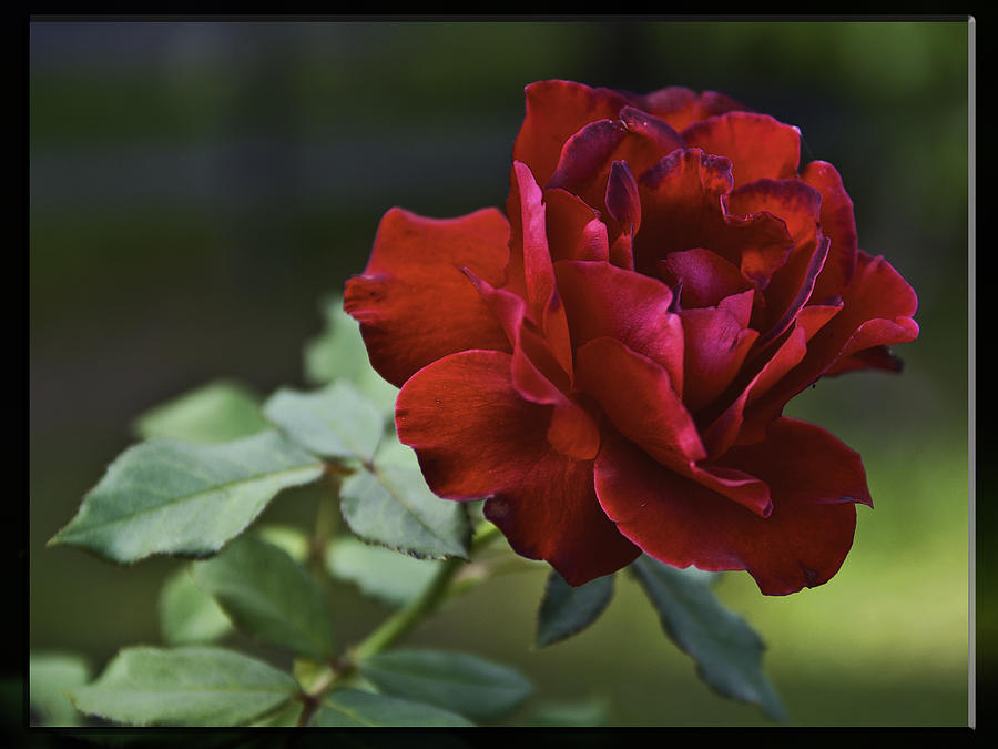 Red Roses Photograph - Lone Survivor by Frank Feliciano