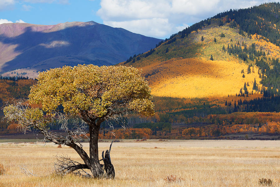 Aspen Photograph - Lone Tree by Jim Garrison