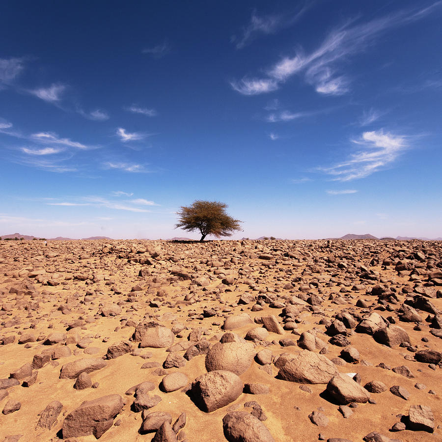 Square Photograph - Lonely Tree At Sahara Desert by Taghit