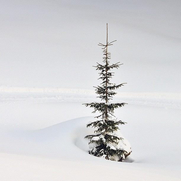 Fir Photograph - Lonely Tree by Matthias Hauser