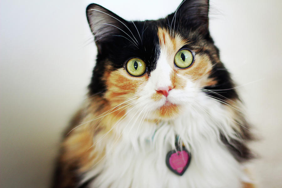 Horizontal Photograph - Long Haired Calico Cat by Genevieve Morrison