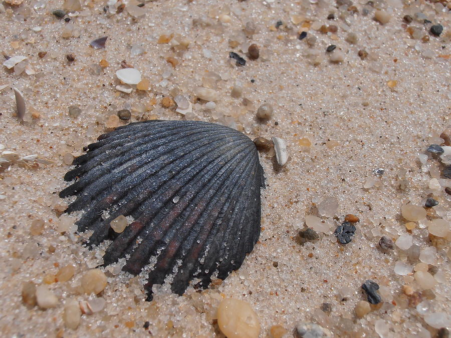 Scallop Photograph - Long Island Scallop Shell by Kimberly Perry