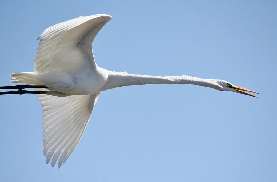 Great White Egret Photograph - Long Neck by Paulette Thomas