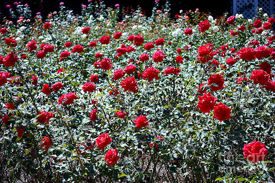 Long Stemmed Red Roses Photograph By Carol Groenen